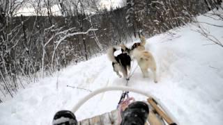 husky-loup